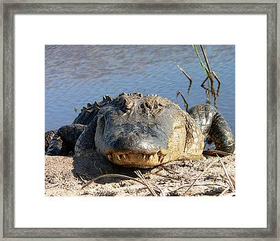 Alligator Approach Framed Print by Al Powell Photography USA