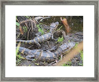 Alligator Babies Framed Print