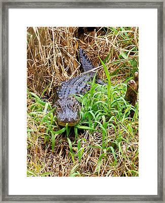 Alligator Framed Print by Chris Mercer