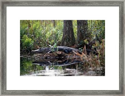 Alligator In Okefenokee Swamp Framed Print by William H. Mullins