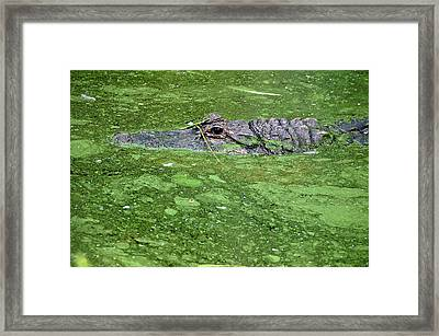 Alligator In Swamp Framed Print by Aimee L Maher Photography and Art Visit ALMGallerydotcom