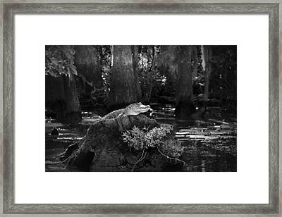 Alligator In The Louisiana Bayou Framed Print by Mountain Dreams