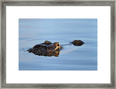 Alligator Framed Print