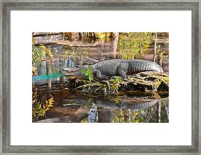 Alligator Mississippiensis Framed Print by Christine Till