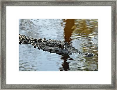 Alligator On Jekyll Island Framed Print by Bruce Gourley