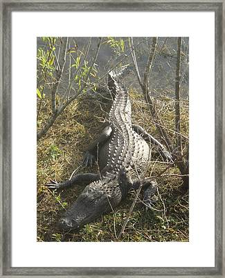 Framed Print featuring the photograph Alligator by Robert Nickologianis