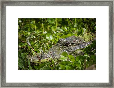 Framed Print featuring the photograph Alligator Taken At Brazos Bend by Zoe Ferrie