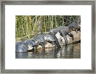 Alligator Turtle Train Framed Print by Krista Keck
