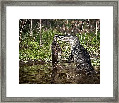 Alligator Vs Bobcat Framed Print