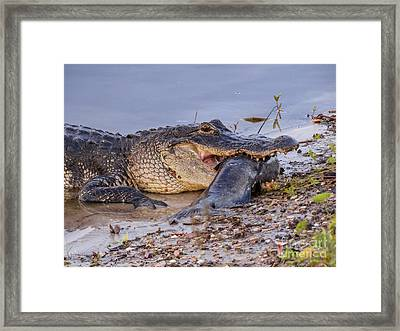 Alligator With A Fish Framed Print