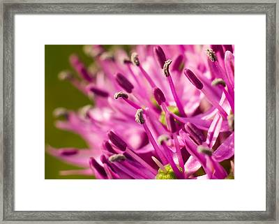 Allium 1 Framed Print by Carl Engman