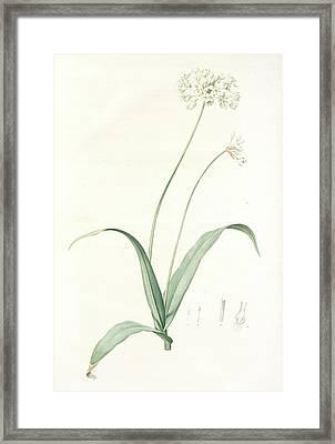Allium Album, Allium Subhirsutum Ail Blanc, Hairy Garlic Framed Print