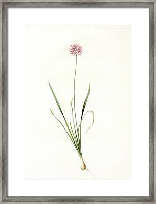Allium Angulosum, Ail Anguleux, Mouse Garlic Framed Print
