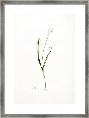 Allium Brachystemon, Allium Subhirsutum Ail à Petites Framed Print