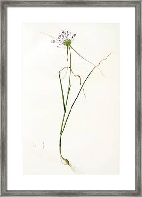 Allium Carinatum, Ail En Carène, Keeled Garlic Framed Print