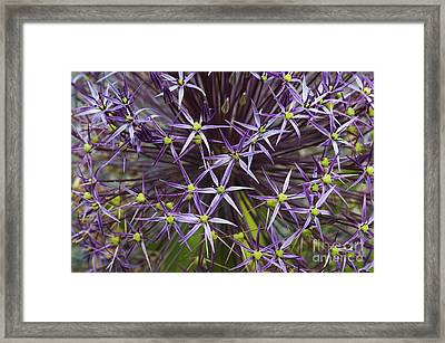 Allium Christophii Flower Pattern Framed Print by Tim Gainey