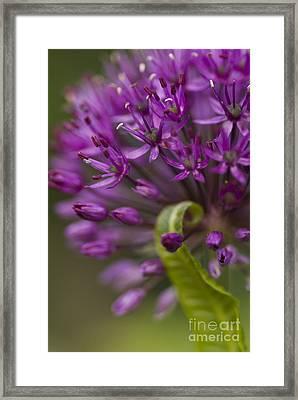 Allium Curl Framed Print by Anne Gilbert