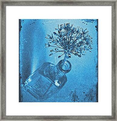 Allium Cyanotype Framed Print by Chris Berry