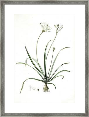Allium Fragrans, Ail Parfumé, Fragrant Onion Framed Print by Artokoloro