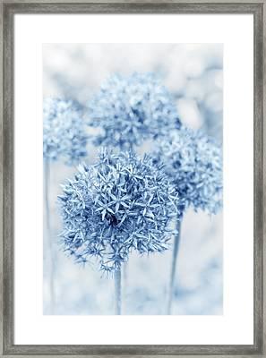 Allium Framed Print by Frank Tschakert