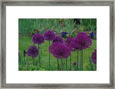 Allium Giganteum Framed Print by Ken Dietz