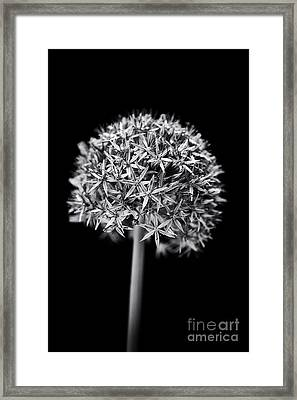 Allium Globemaster Framed Print by Tim Gainey
