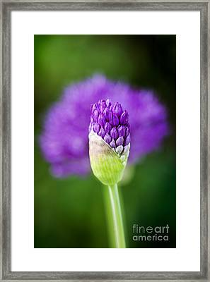 Allium Hollandicum Purple Sensation Framed Print by Tim Gainey