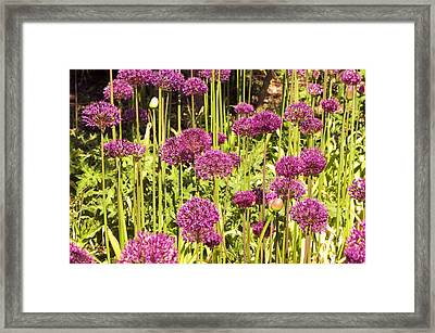 Allium Hollandicum Framed Print by Science Photo Library