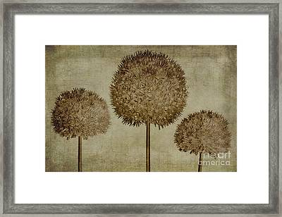 Allium Hollandicum Sepia Textures Framed Print by John Edwards