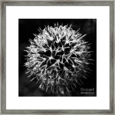 Framed Print featuring the photograph Allium by Inge Riis McDonald