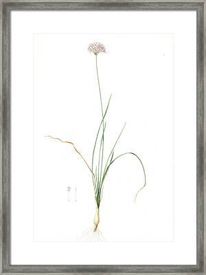 Allium Lusitanicum, Allium Angulosum Ail De Portugal Framed Print