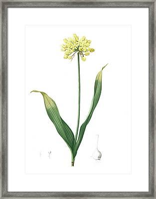 Allium Moly, Ail Moly Golden Garlic, Lily Leek Framed Print