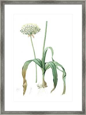 Allium Nigrum, Ail Noir, Black Garlic, Redouté Framed Print