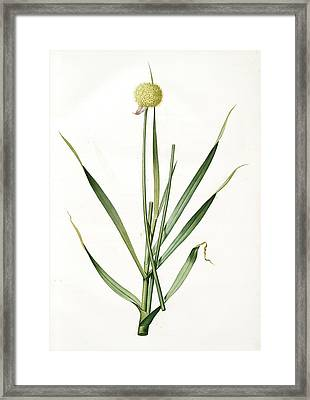 Allium Obliquum, Ail Oblique, Twisted-leaf Garlic Framed Print