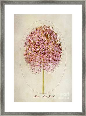 Allium Pink Jewel Framed Print by John Edwards