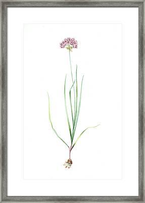 Allium Roseum, Ail Rose, Rose Garlic, Redouté Framed Print