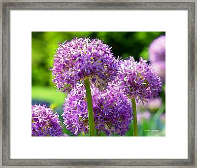 Allium Series - Bright Light Framed Print by Moon Stumpp
