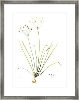 Allium Straitum, Nothoscordum Bivalve Ail Strié, False Framed Print