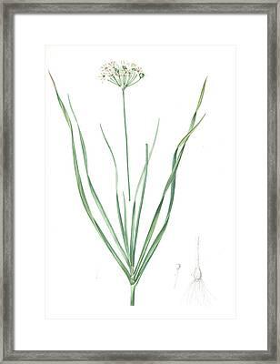 Allium Tartaricum, Allium Ramosum Ail De Tartarie, Chinese Framed Print