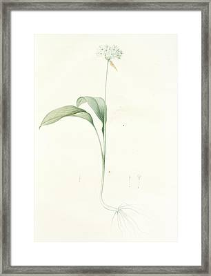 Allium Ursinum, Ail Des Ours , Bears Garlic Wild Garlic Framed Print