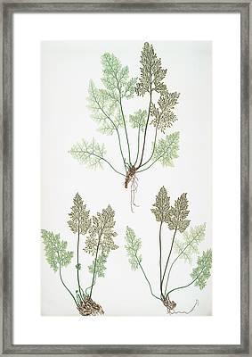 Allosorus Crispus Framed Print