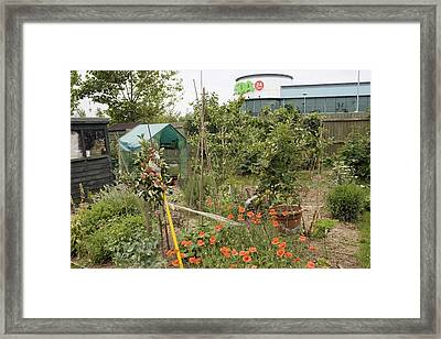 Allotment Companion Flower Planting Framed Print by Science Photo Library