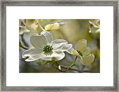 Alluring Dogwoods Framed Print by Eve Spring