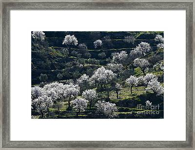 Almond Blossom In Andalusia Framed Print by Heiko Koehrer-Wagner