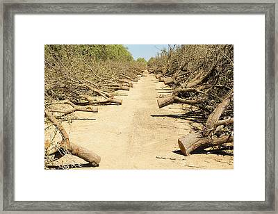 Almond Groves Being Chopped Down Framed Print by Ashley Cooper