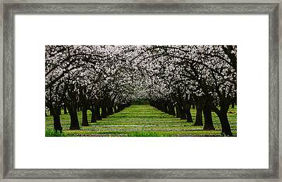 Almond Orchard Framed Print