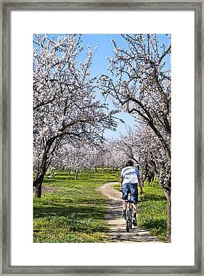 Almond Orchards In Full Bloom Framed Print