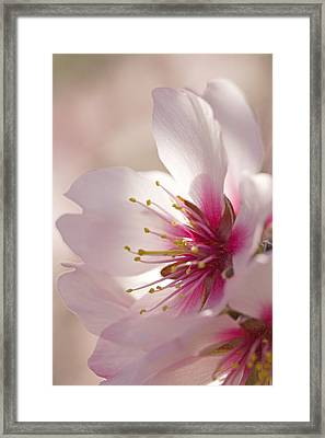 Almond (prunus Dulcis) Framed Print by Power And Syred