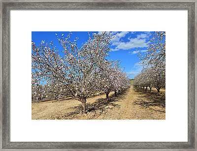 Almond Trees Framed Print