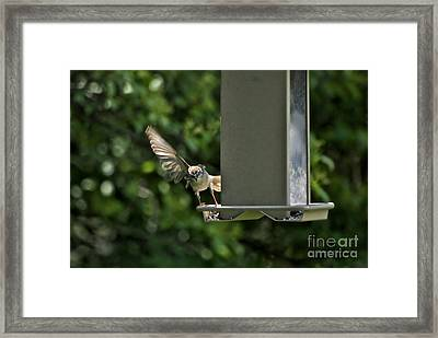Framed Print featuring the photograph Almost A Ruff Bird Landing by Thomas Woolworth